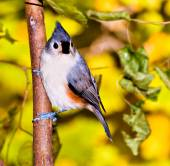 Tufted titmouse perched on a small tree. — Stock Photo