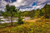 Pine tree at Otter Cove, in Acadia National Park, Maine.  — 图库照片