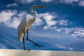 An egret in Clearwater Beach, Florida.  — Stock fotografie
