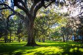 Большие дубы и испанский мох в парке forsyth, саванне, geor — Стоковое фото