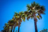 Palm trees at Tybee Island, Georgia. — Stock Photo