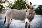 A donkey in Oatman, Arizona. — Stock Photo