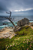 The Ghost Tree and the Pacific Ocean, seen from the 17 Mile Driv — Stockfoto