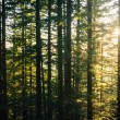Pine trees along the Mirror Lake Trail at sunset, in Mount Hood — Stock Photo #72416031