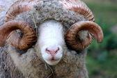 Close Up of a Dorset Ram — Stock Photo