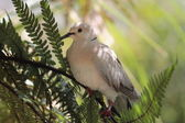Ringneck Dove (Streptopelia roseogrisea) — Stock Photo