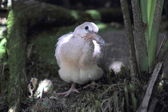 Ringneck Dove (Streptopelia roseogrisea) juvenille — Stock Photo