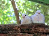 Ringneck Dove Chicks (Streptopelia roseogrisea) — Stock Photo