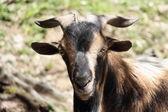 Arapawa Goat — Stock Photo