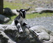 Black and White Kid Goat — Foto Stock