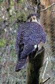 New Zealand Falcon — Stock Photo