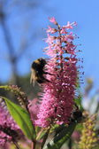 Bumblebees feeding on a Hebe Flower — Stock Photo