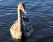 Black Swan Juvenile — Stock Photo