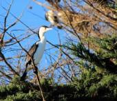 Pied Cormorant (Phalacrocorax varius) — Stock Photo
