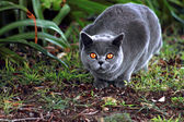 British Blue Pedigree Cat — Stock Photo