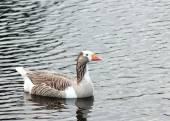 Goose on Lake — Stock Photo