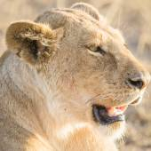 Lion rests in Serengeti — Stock Photo