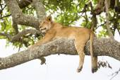 African lion rests in tree — Stock Photo