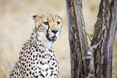 Cheetah looking after prey in Serengeti — Stock Photo