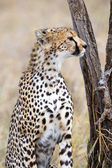 Cheetah looking after enemies in Serengeti — Stock Photo