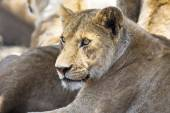 Lion rests together with the pride — Stock Photo