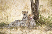 Cheetah rests after meal in Serengeti — Stock Photo