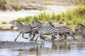 Zebras runs in the water — Stock Photo