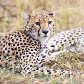 Cheetah rests at plains of Serengeti — Stock Photo
