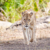 Focused lion walking towards the camera — Stock Photo