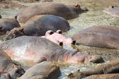 Young hippo sleeps upside down in water — Stock Photo
