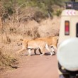 Постер, плакат: Wildlife safari tourists on game drive