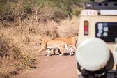 Wildlife safari tourists on game drive — Stock Photo