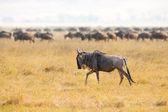 Herds of wildebeests in the Ngorongoro — Stock Photo