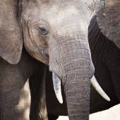 Close up of large african elephant in Tanzania — Stok fotoğraf