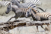 Afraid zebras running in the water — Stock Photo