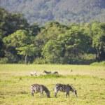 Wild zebras grazing in Africa — Stock Photo #58016807