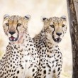 Two cheetahs rests after meal in Serengeti — Stock Photo #60114243