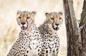 Two cheetahs rests after meal in Serengeti — Stok fotoğraf
