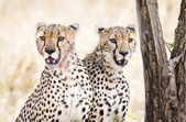 Two cheetahs rests after meal in Serengeti — ストック写真