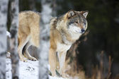Wolf standing in the snow — Stock Photo