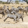 Постер, плакат: Two zebras fighting at the plains of Serengeti