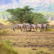 Постер, плакат: Herd of wildebeests eats grass in Africa