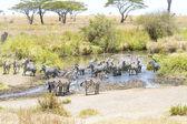 Zebras drinks water in Serengeti — Stock Photo