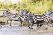 Scared zebras trots in the water — Stock Photo
