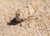 GRASSHOPPER blends IN THE SAND — Stock Photo