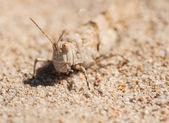 Mezclas de Grasshopper en la arena — Foto de Stock