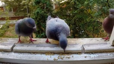 Pigeons fighting for food. Slowmotion. — Stok video