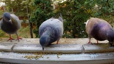 Pigeons fighting for food. Slowmotion. — Stock Video