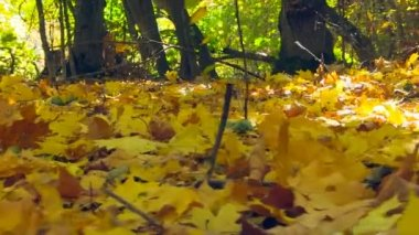 Autumn Colorful Fallen Leaves. Close-Up. — Stock Video