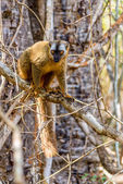 Red-fronted lemur (Eulemur rufifrons) — Stock Photo